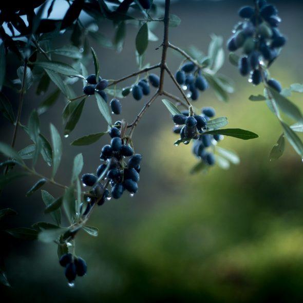 olives-5043603_cr